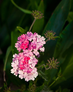 Verbena blooms and buds