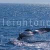 8-20-15-whales-leighton-3510