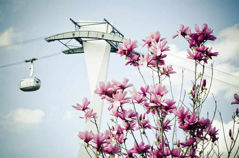 Tram Magnolias