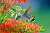HUMMINGBIRD .... getting nectar off a bottlebrush tree