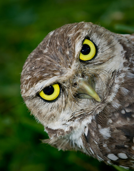 • Burrowing Owl<br /> • How about my big eyes