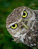 • Burrowing Owl • How about my big eyes
