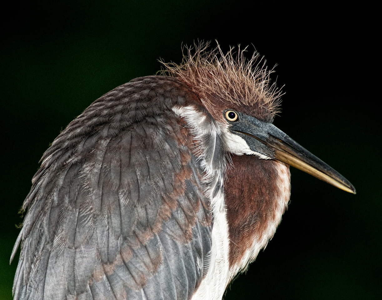 • Juvenile Tricolored Heron<br /> • Bad hair day