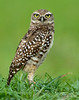 • Burrowing Owl<br /> • I can see you out there