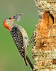 • Red-bellied Woodpecker<br /> • Red-bellied Woodpecker Eating a Praying Mantis