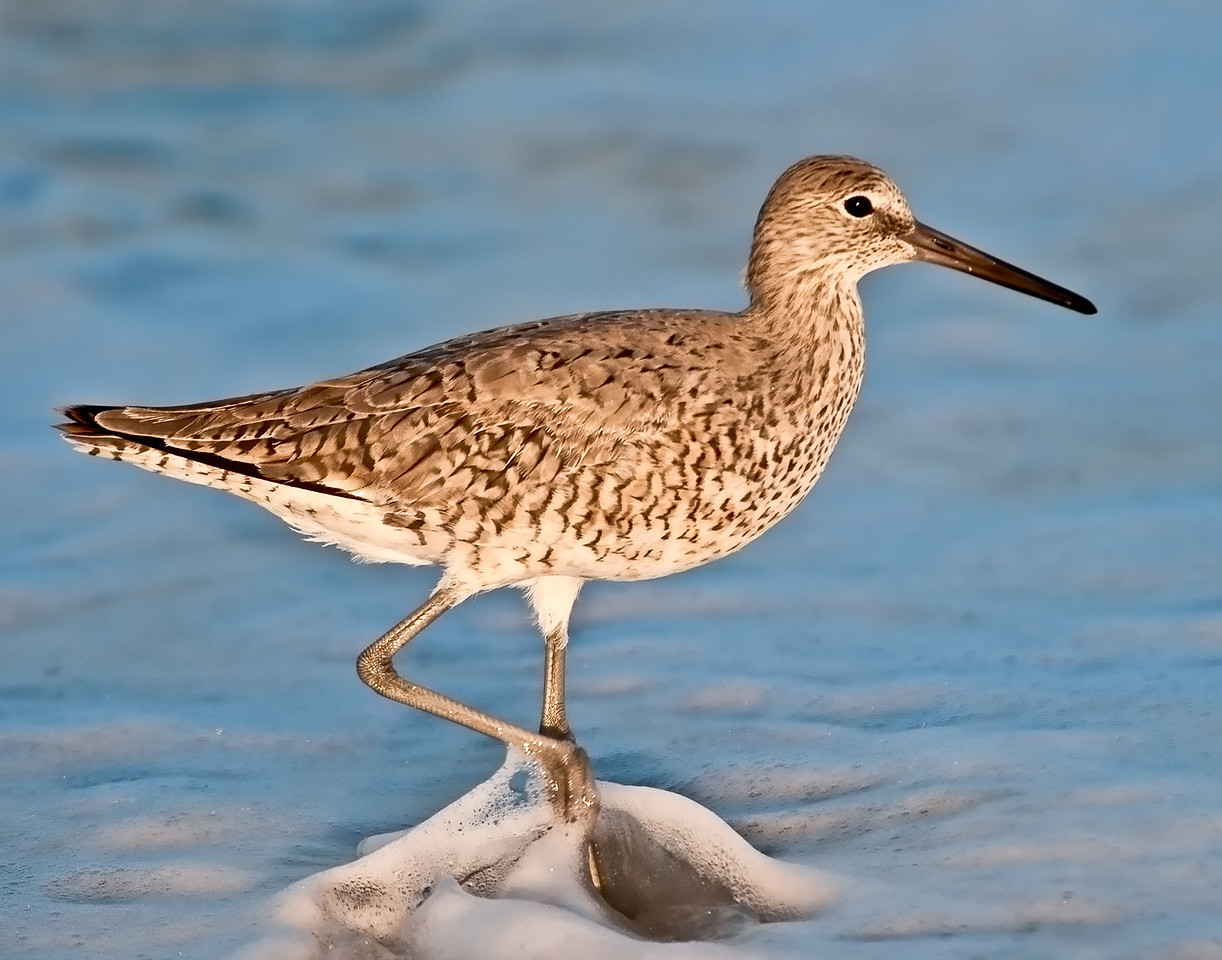 • Willet<br /> • One foot in front of the other