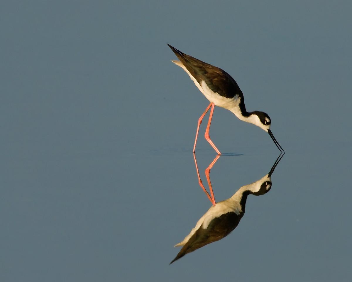 • Black-necked Stilt<br /> • Nice reflection of me