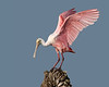 • Roseate Spoonbill<br /> • I a pretty colorful bird