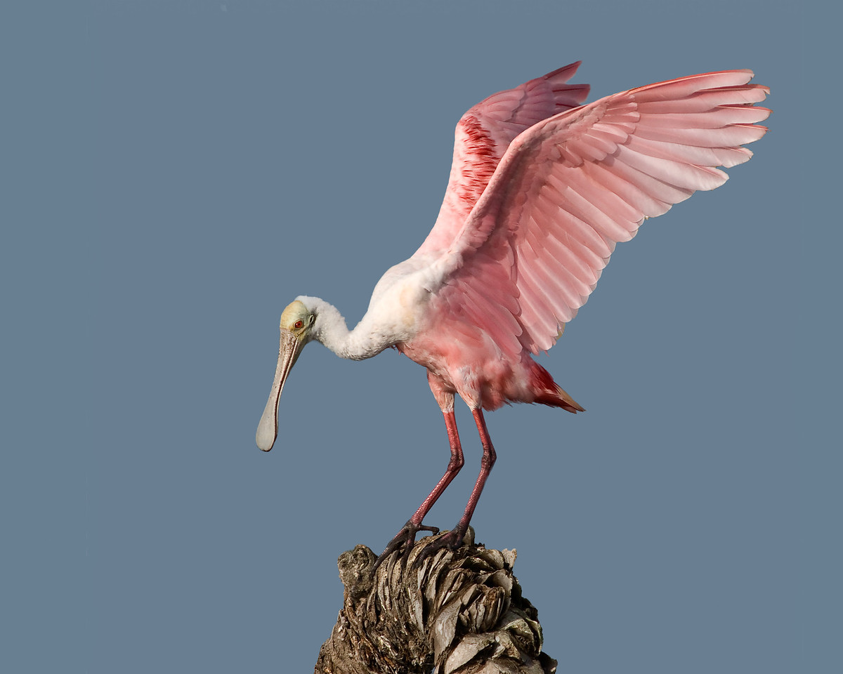 • Roseate Spoonbill<br /> • I a pretty colorful bird