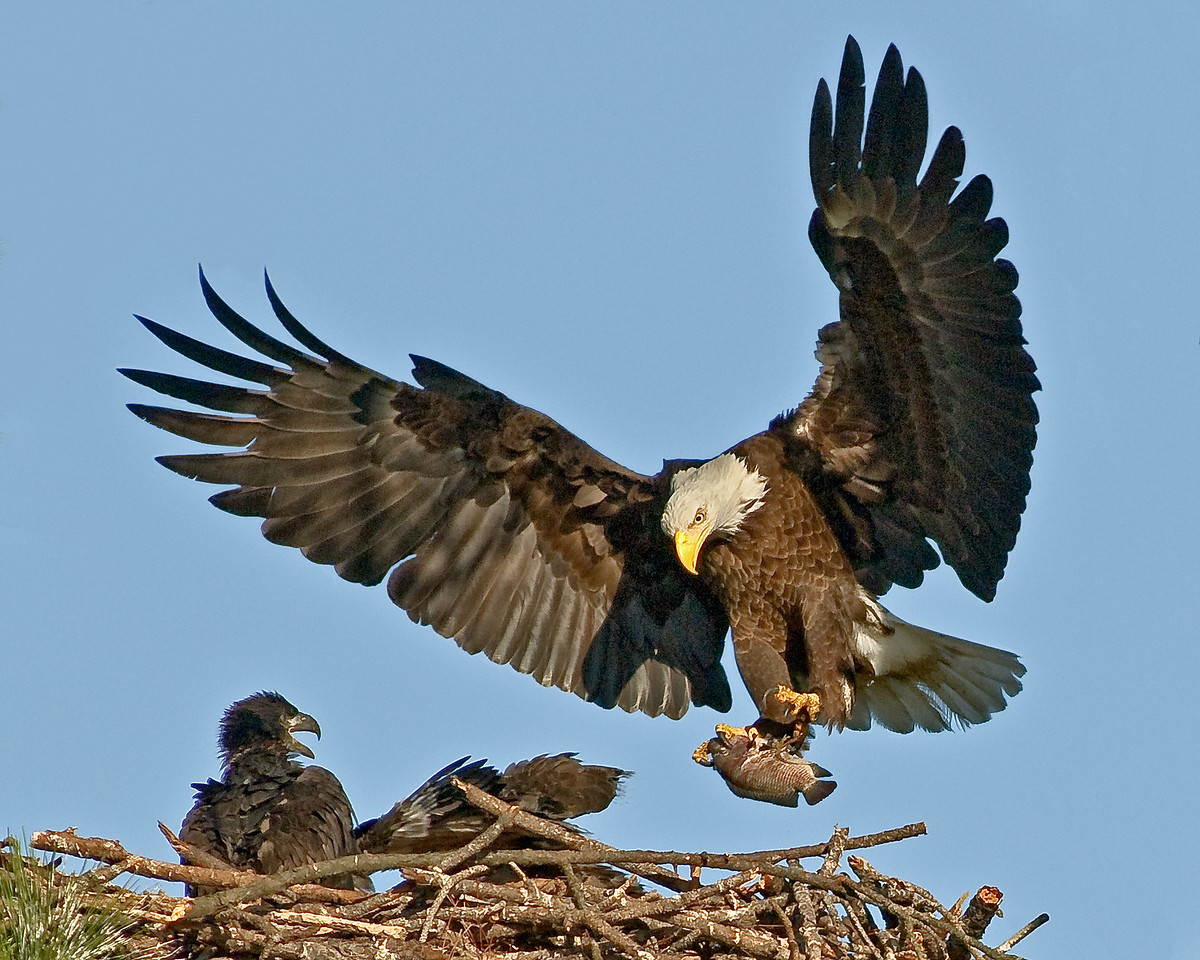• Bald Eagle<br /> • Here comes mom with her catch