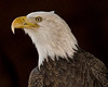 • Bald Eagle<br /> • National Bird of the United States of America