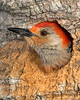 • Red-bellied Woodpecker<br /> • Who's out there?