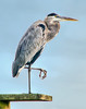 • Great Blue Heron<br /> • I ready for claw shake
