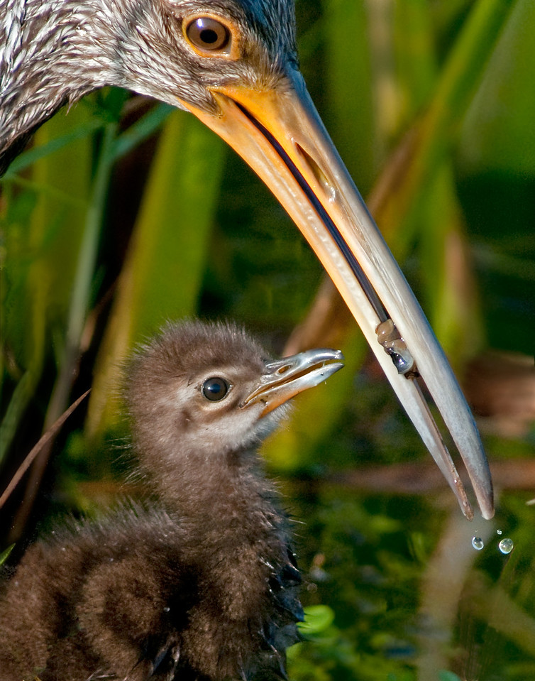 * Mother and Baby Limpkin<br /> • That's the right size for me to eat