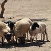 Amelia's sheep<br /> 10/01/09