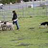 Juno is going to put the sheep in the round pen.<br /> 1/23/10