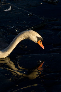 STOCKHOLM 2013-03-11 Swan in the afternoon light in Stockholm City, Sweden Photo Maria Langen / Sverredal & Langen AB