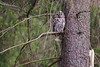 Tawny owl Stockholm