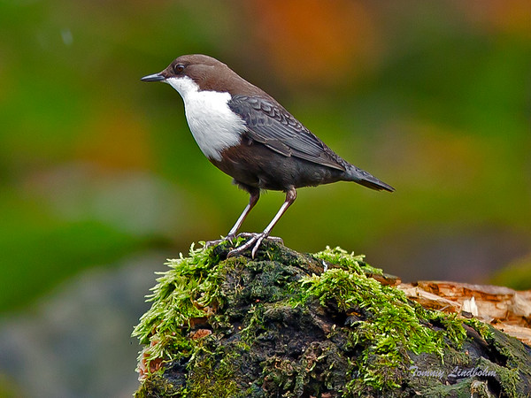 White-throated dipper, Stockholm