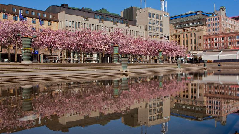 Sakura in Kungsträdgården Stockholm