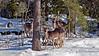 Fallow deer, Stockholm