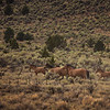 Kiger Mustang Herd