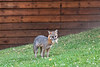 Grey fox with mouthful of marshmallows and a white mouse