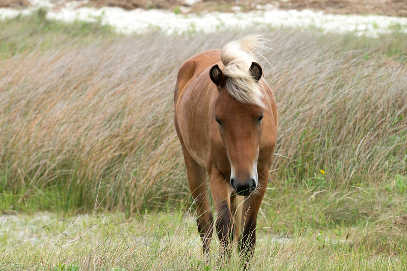 The wild Shackleford mustangs can only be reached by boat