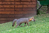 Grey fox heading up yard looking for food