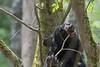 Black bear eating in leave in a tree
