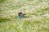 American Kestrel flying along the ground