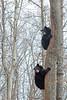Two black bear looking back