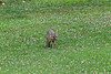 Grey fox walking in yard on clover