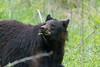 Black bear in the wild