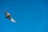 American Kestrel doing acrobatics in the air