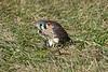 American Kestrel mantling over his food