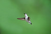 Ruby-throated Hummingbird, by early fall they're bound for Central America, with many crossing the Gulf of Mexico in a single flight.  E mail DFriend150@gmail.com to purchase