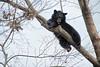 Black bear resting in tree