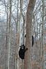 Bkack bear cubs climbing