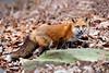 Red fox crouching
