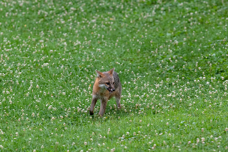 In clover field a grey fox looking around for food