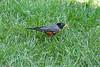 Robin eating a cicada