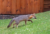 Grey fox sniffing for food as walking up yard