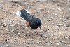 Eastern Towhees are birds of the undergrowth feeding