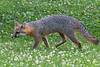 Grey fox sneaking up on prey