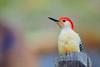Pretty red bellied woodpecker on post