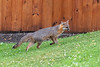 Grey fox moving up a hill