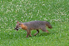 Happy grey fox in field of clover