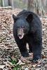 Black bear coming up close