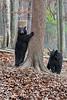 Two black bear a base of tree